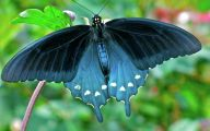Blue And Black Butterfly  16 Cool Hd Wallpaper