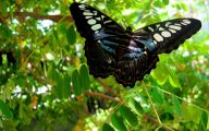 Blue And Black Butterfly  2 Hd Wallpaper