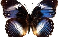 Blue And Black Butterfly  20 Hd Wallpaper