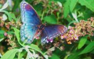 Blue And Black Butterfly  21 Free Hd Wallpaper
