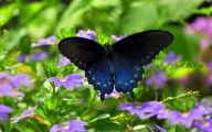 Blue And Black Butterfly  24 Background Wallpaper
