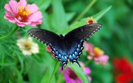 Blue And Black Butterfly  26 Hd Wallpaper