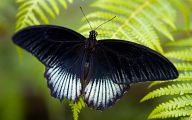 Blue And Black Butterfly  27 Widescreen Wallpaper