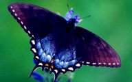 Blue And Black Butterfly  3 Free Wallpaper