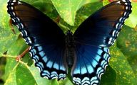 Blue And Black Butterfly  31 Background