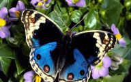 Blue And Black Butterfly  34 Background Wallpaper