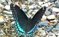 Blue And Black Butterfly  37 High Resolution Wallpaper