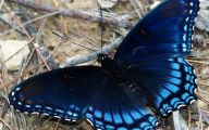 Blue And Black Butterfly  39 Cool Wallpaper