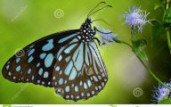 Blue And Black Butterfly  40 Desktop Background