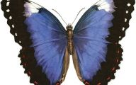 Blue And Black Butterfly  6 High Resolution Wallpaper
