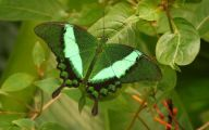 Green And Black Butterfly  10 Cool Wallpaper