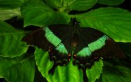 Green And Black Butterfly  13 Background