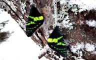 Green And Black Butterfly  14 Free Hd Wallpaper