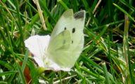 Green And Black Butterfly  16 Desktop Wallpaper