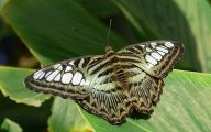 Green And Black Butterfly  18 Wide Wallpaper