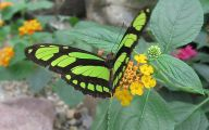 Green And Black Butterfly  19 Free Wallpaper