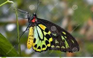 Green And Black Butterfly  2 Background Wallpaper