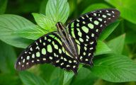 Green And Black Butterfly  21 Free Hd Wallpaper