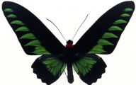 Green And Black Butterfly  23 Background