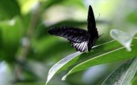 Green And Black Butterfly  26 Hd Wallpaper