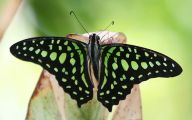 Green And Black Butterfly  27 Cool Hd Wallpaper