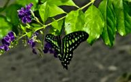 Green And Black Butterfly  31 Widescreen Wallpaper