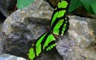 Green And Black Butterfly  33 Cool Wallpaper