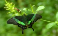 Green And Black Butterfly  37 Cool Wallpaper