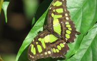 Green And Black Butterfly  5 Free Hd Wallpaper