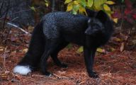 Melanistic Animals 3 Desktop Wallpaper