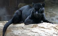 Melanistic Animals 31 Free Wallpaper