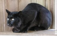 Melanistic Animals 34 High Resolution Wallpaper