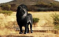 Rare Black Animals 17 Background Wallpaper