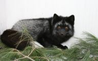 Black And Silver Fox  15 Wide Wallpaper