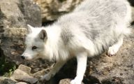 Black And Silver Fox  16 Cool Wallpaper
