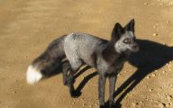 Black And Silver Fox  17 Background