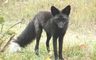 Black And Silver Fox  2 Background Wallpaper