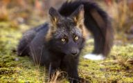 Black And Silver Fox  20 Free Hd Wallpaper