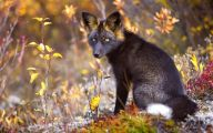 Black And Silver Fox  22 Background Wallpaper