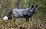 Black And Silver Fox  24 Background