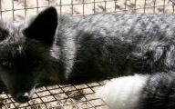 Black And Silver Fox  8 Cool Wallpaper