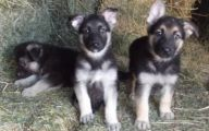 Black And Silver German Shepherd  46 High Resolution Wallpaper