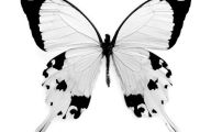 Black And White Images Of Butterflies  1 Background Wallpaper