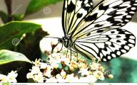 Black And White Images Of Butterflies  10 Wide Wallpaper