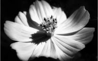 Black And White Images Of Flowers  16 Free Hd Wallpaper