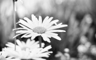 Black And White Images Of Flowers  24 Hd Wallpaper