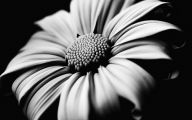 Black And White Images Of Flowers  31 Free Wallpaper