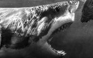 Black And White Images Of Sharks  33 Desktop Wallpaper