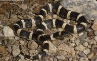 Black And White Images Of Snakes  12 Wide Wallpaper