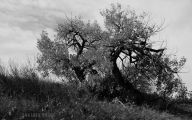 Black And White Images Of Trees  37 Free Wallpaper